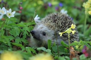 Hedgehog in the greenery